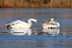 Swans skating on ice Stock Photography