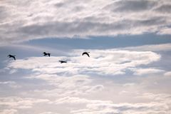 Swans in the sky. Swans in the blue sky Royalty Free Stock Image