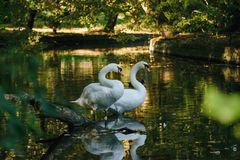 Swans on the small river... stock photo