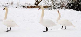 Swans in snow Stock Photo