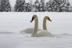 Swans on snow. Swans sitting in deep snow Royalty Free Stock Images
