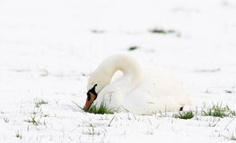 A swans in snow Stock Photo
