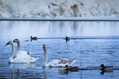 Swans through the snows Royalty Free Stock Images