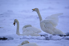 Swans in snowscape Royalty Free Stock Photos