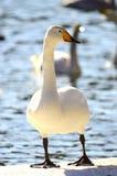 Posera för Swan Royaltyfri Bild