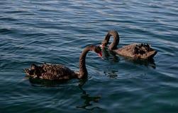 swans som simmar två Fotografering för Bildbyråer