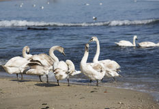 Swans in spring Royalty Free Stock Photo