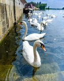 Swans at st.ives,cambridgeshire Stock Photo
