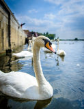 Swans at st.ives,cambridgeshire 3 Royalty Free Stock Images