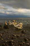 Swans at Stormy afternoon Stock Photo