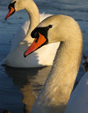 Swans study. A pair of swans on a lake - lovely graceful ines royalty free stock images