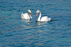 The swans Stock Images