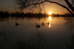 Swans at Sunrise. Swans on a lake early morning Royalty Free Stock Photography