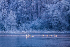 Swans at sunrise on lake in winter in Poland Stock Images