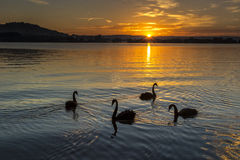 Swans at sunrise Royalty Free Stock Image