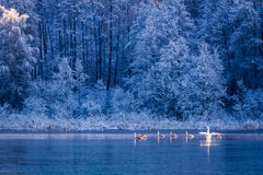 Swans at sunrise on winter lake Royalty Free Stock Photos
