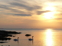 Swans in sunset. Swans swimming into the beautiful sunset in Sweden Stock Photos