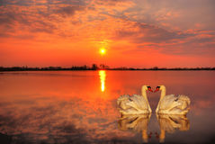 Swans at sunset Royalty Free Stock Photos