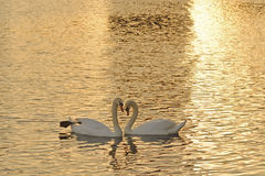 Swans at sunset. Two mute swans at sunset on a lake in Orlando Florida.  Forming a heart between them Royalty Free Stock Image