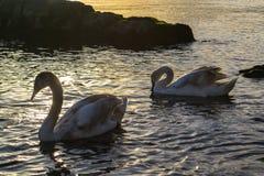 Swans At Sunset Stock Photos