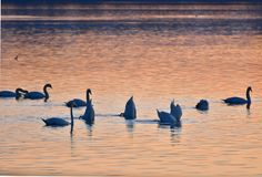 The swans at the sunset. Group of swans on the river Drava, Slovenia at the sunset. They are eating Stock Photo