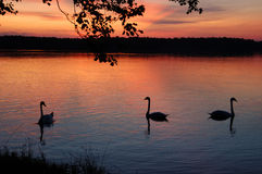 Swans, sunset Royalty Free Stock Photo