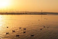 Swans on the sunset. Lake Stock Photo