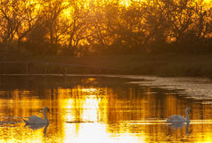 Swans at sunset Royalty Free Stock Photo