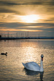 Swans in sunset Royalty Free Stock Photography
