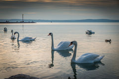 Swans in sunset Royalty Free Stock Images