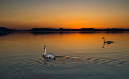 Swans in sunset Stock Photo