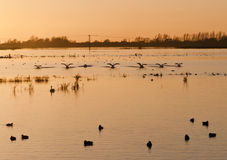 Swans  at sunset over flooded wetlands. Royalty Free Stock Photo