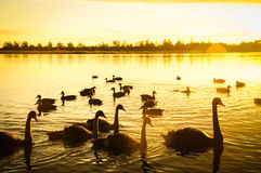 Swans and Sunset over Lake Stock Photos