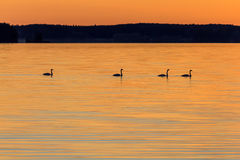 Swans. At sunset time in western Finland royalty free stock photos