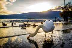 Swans at sunset Stock Photo