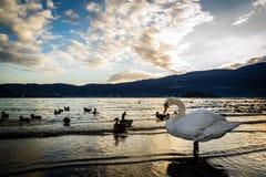 Swans at sunset. Verbania Pallanza, Italy Stock Photo