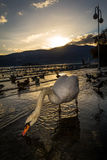 Swans at sunset. Verbania Pallanza, Italy royalty free stock images