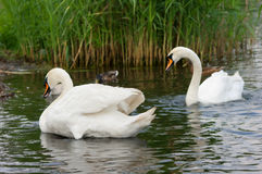Swans. Royalty Free Stock Photos