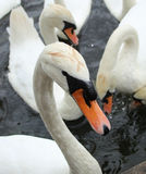 Swans. Swan is waiting for her treat Stock Image