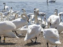 Swans at the swannery waiting for feeding time Stock Photography