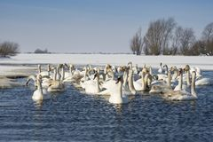 Swans. Resting on a fragment of an unfrozen river surrounded by snow and ice in a winter landscape Stock Photo