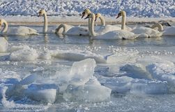 Swans. Resting on a fragment of an unfrozen river surrounded by snow and ice in a winter landscape Stock Images