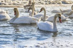 Swans. Resting on a fragment of an unfrozen river surrounded by snow and ice in a winter landscape Royalty Free Stock Image