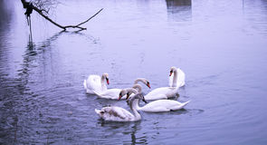 Swans swim. In the blue river. Winter time Stock Image