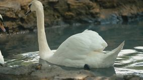 Swans swim in the groove. Swans swim in a groove close-up stock footage