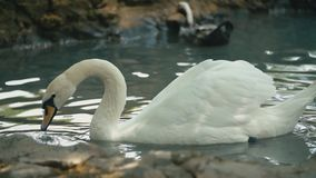 Swans swim in the groove. Swans swim in a groove close-up stock video footage
