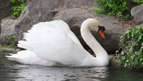Swans swim on the Lake.  stock footage