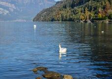 Swans swim on the lake stock photography