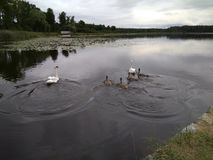 Swans swim in the lake under the evening overcast sky royalty free stock photography