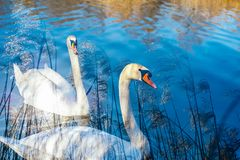Swans swim peacefully along the lake, double exposure with bambo. O, Lake Maggiore, Italy Stock Photos